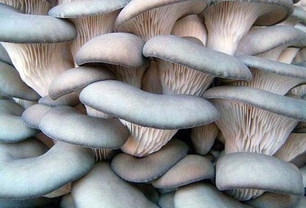 Как чистить грибы после их сбора?