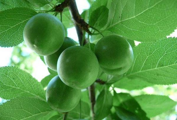 ветка с плодами алычи