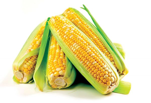 свежая кукуруза с початками