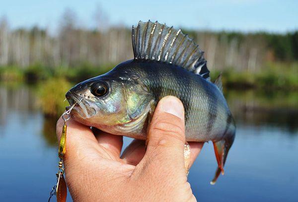 рыба окунь в руке
