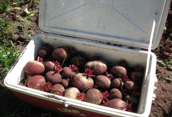урожай свеклы в ящике