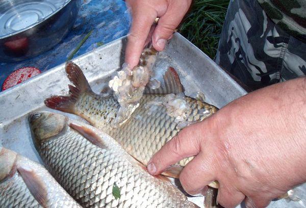 чистка рыбы ножом от чешуи